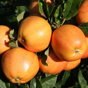 Fruit Trees & Bushes  - Apple Tree