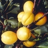 Fruit Trees & Bushes Apricot Tree 'Golden Glow'