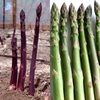 Vegetables Asparagus Collection (24 crowns)