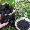 Blackberry Collection (2 plants)