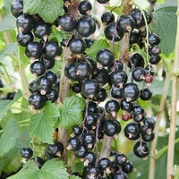 Fruit Trees & Bushes  - Blackcurrant Bush