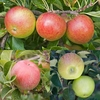 Cordon Apple Collection (3 Trees)