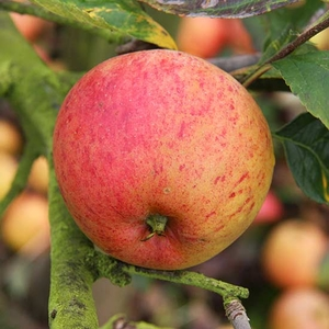 Fruit Trees & Bushes  - Cordon Apple