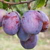 Fruit Trees & Bushes Cordon Plum 'Seneca'