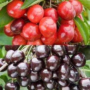 Fruit Trees & Bushes  - Duo Cherry (Cherokee/Kordia)
