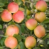 Family Apple (Elstar/Sunset/Braeburn)