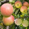 Family Apple (G.Delicious/Lord Lambourne/Falstaff)