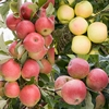 Family Apple (Greensleeves/Elstar/Gala)