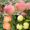 Family Apple (Laxton