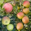 Family Apple (Lord Lambourne/Braeburn/Bountiful)