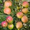 Family Apple (Sunset/Braeburn/Fiesta)