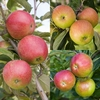 Family Apple (Worcester Pearmain/Falstaff/Fiesta)