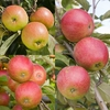 Family Apple (Worcester Pearmain/Falstaff/Pixie)