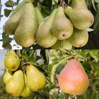 Fruit Trees & Bushes  - Family Pear (Williams/Comice/Conference)