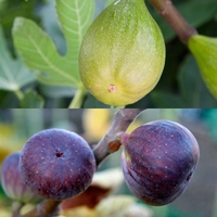Fruit Trees & Bushes  - Fig Tree Collection (2 plants)