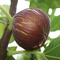 Fruit Trees & Bushes  - Fig Tree