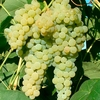 Fruit Trees & Bushes Grape Vine 'Lakemont' (Pot Grown)