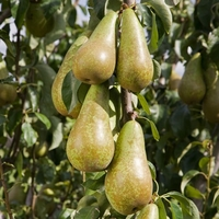 Fruit Trees & Bushes  - Pear Tree