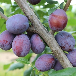Fruit Trees & Bushes  - Plum Tree