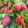 Fruit Trees & Bushes Raspberry Collection (12 cell grown plants)