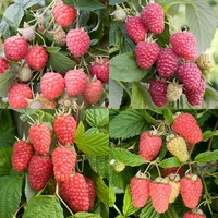 Fruit Trees & Bushes  - Raspberry Collection (12 cell grown plants)