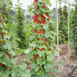 Fruit Trees & Bushes  - Redcurrant Cordon