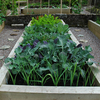 Super Healthy Brassica Collection (35 plants)