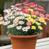 Plants & Seeds Argyranthemum Go Daisy Collection 2 Pre-Planted Containers