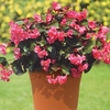 Plants & Seeds Begonia Big 2 Pre Planted Containers