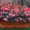 Plants & Seeds Begonia Big 2 Pre-Planted Troughs