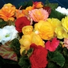 Begonia Destiny 280 Ready Plants (4th Delivery Period)