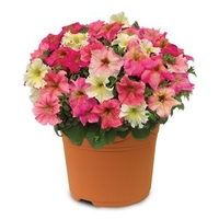 Plants & Seeds  - Hardy Petunia Autumn Leaves 1 Pre-Planted Container