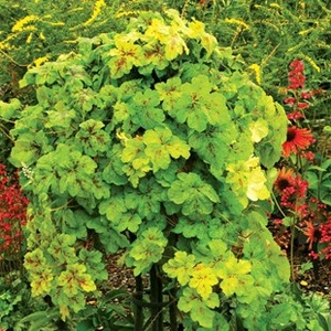 Plants & Seeds  - Heuchera Yellowstone Falls 1 Pre-Planted Hanging Basket Delivery Period 2