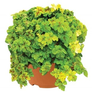 Plants & Seeds  - Heuchera Yellowstone Falls 2 Pre-Planted Containers Delivery Period 2