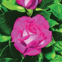 Plants & Seeds  - Hybrid Tea Rose Bicolour Rose 1 Bare Root Plant