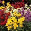 Plants & Seeds Over £50 Spend Offer: FREE Wallflower Wizard 24 Jumbo Plants