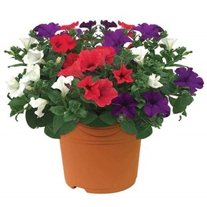 Plants & Seeds  - Petunia Surfinia Classic Trailing Mix 1 Pre Planted Container