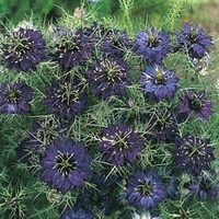 Plants & Seeds  - Nigella damascena