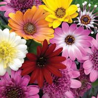 Plants & Seeds  - Osteospermum
