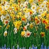 Daffodils and Narcissi Mixed