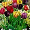 Parrot Tulips - Special Colourful Mixture
