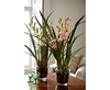 Large Coral Potted Cymbidium